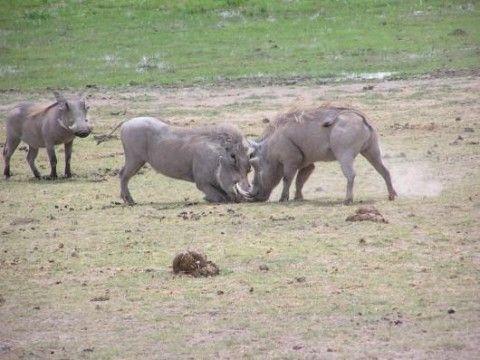 Amboseli National Park (Dettaglio)