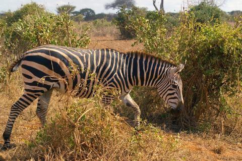 Zebra im Nairobi Nationalpark auf Futtersuche